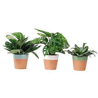 Indoor Plants from Botanicly – 3 × Monstera Monkey Mask – Height: 30 cm – Monstera Obliqua Monkey
