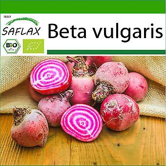 Saflax - 70 seeds - With soil - Organic - Beetroot - Chioggia - BIO - Betterave - De Chioggia - BIO - Barbabietola - Chioggia - Ecológico - Remolacha - Chioggia - BIO - Rote Beete - Chioggia