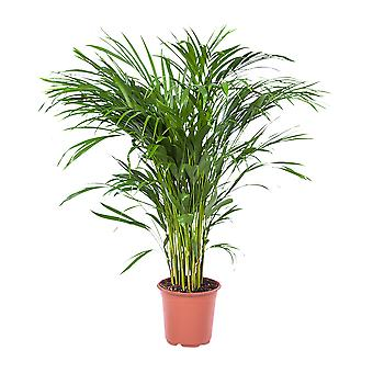 Choice of Green - Areca Dypsis Palm - Golden cane palm