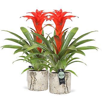 Bromelia Guzmania Calypso in pot Woodstock 2 pieces - Height 45 cm - Diameter pot 12 cm