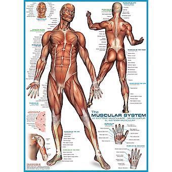 Eurographics Le puzzle du système musculaire (1000 pièces)