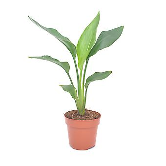Planta de interior de Botanicly – Ave del Paraíso – Altura: 45 cm – Strelitzia Reginae