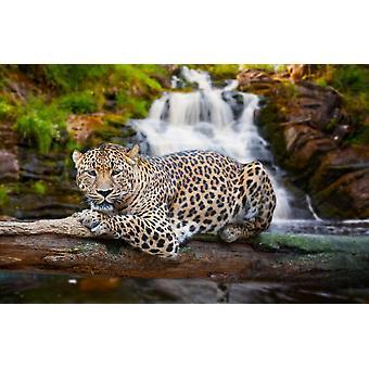 Bakgrunn Veggmaleri Hvile Jaguar