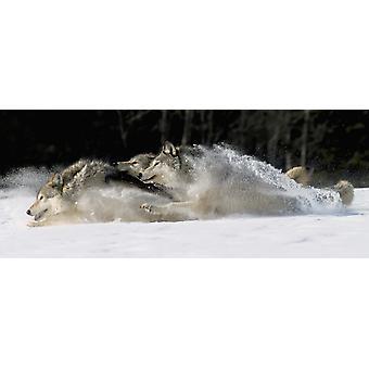 Pack Of Grey Wolves Running Through Deep Snow Captive Ak Se Winter Composite PosterPrint