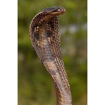 Spectacled Cobra mit Kapuze flammte in Verteidigung Haltung Gujarat Indien Poster Print von Pete Oxford