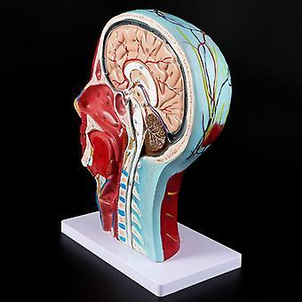 Human Anatomical Half Head Face Anatomy Medical Brain