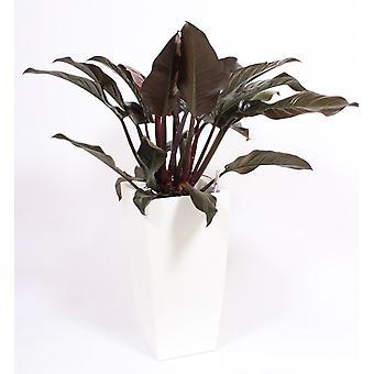 Roślina wewnętrzna – Wspinaczka Philodendron w białej doniczce w zestawie – Wysokość: 120 cm