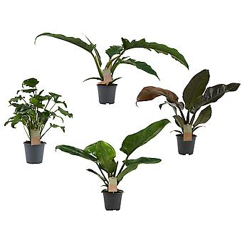 Indoor Plants from Botanicly – 4 × Philodendron Mix  – Height: 45 cm