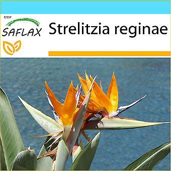 Saflax - Gift Set - 5 graines - oiseau de paradis - Oiseau de paradis (reginae) - Uccello del paradiso - Ave del paraíso - Paradiesvogelblume (reginae)
