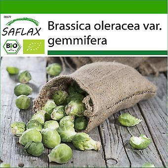 Saflax - 30 frø - Med jord - Organisk - Rosenkål - Groninger - BIO - Chou de Bruxelles - Groninger - BIO - Cavoletti di Bruxelles - Groninger - Ecológico - Coles de Bruselas - Groninger - BIO - Rosenkohl - Groninger