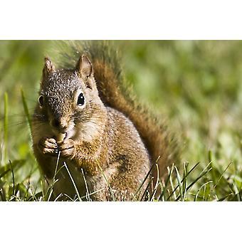 Egern spiser en møtrik PosterPrint