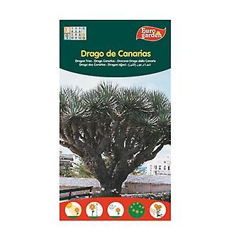 Canary Islands Dragon Tree Seeds 1 unit