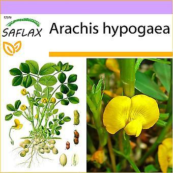 Saflax - 8 Samen - Erdnuss-Pflanze - Cacahuète - Arachide - Cacahuete - Erdnuß