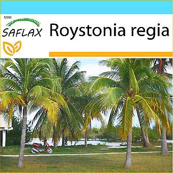 Saflax - Geschenk-Set - 8 Samen - kubanische Königspalme - Palmier royal de Cuba - Palma Reale Cubana - Palmera real Cubana - Cubanische Königspalme