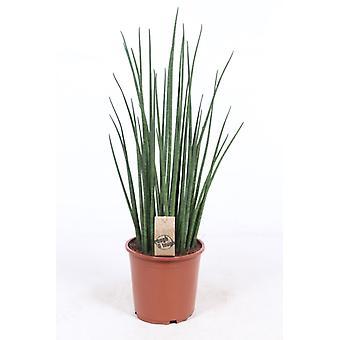 Pianta d'appartamento da Botanicly – Lingua di Suocera – Altezza: 70 cm – Sansevieria Mikado