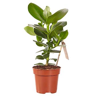 Val av Green - 1 Clusia Princess - Philodendron