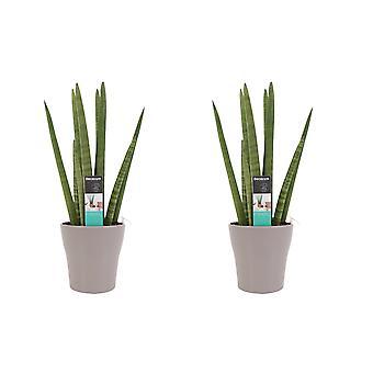 Kamerplanten van Botanicly – 2 × Sansevieria Cylindrica incl. taupe sierpot als set – Hoogte: 35 cm