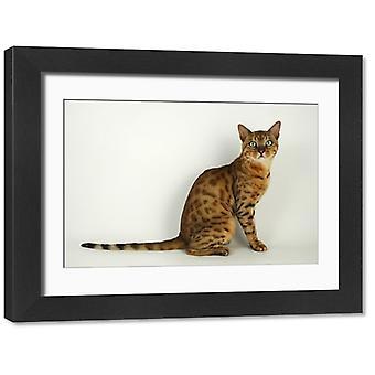 Zwierzę: | kota Rasa: Bengal. Duże zdjęcie w ramce. brązowy plamisty bengal siedzi na białym tle.