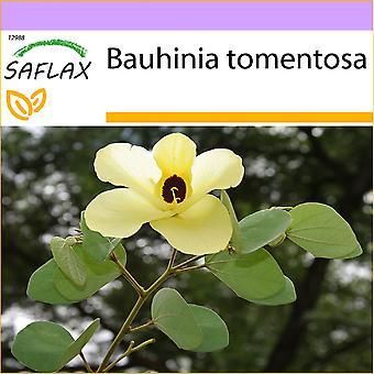 Saflax - 30 siemenet - Yellow Orchid Tree - Arbre aux tulipes - Albero di orchidea gialla - Árbol de Santo Tomás - Gelber Orchideenbaum