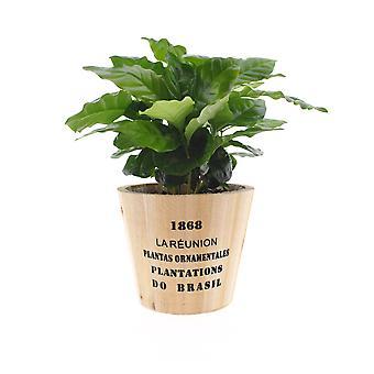 Kaffe plante ↕ 20 cm til rådighed med plantageejer   Coffea Arabica