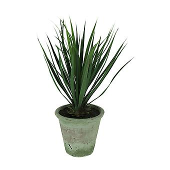 Yucca Plant in Clay Pot 26.5 Inch Tall
