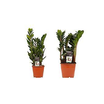Kamerplanten van Botanicly – 2 × Zamio Zenzi, Zamio Culcas – Hoogte: 40 cm