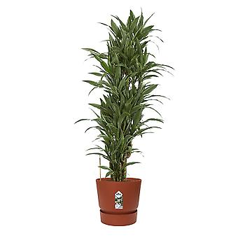 Choice of Green - Dracaena Dermensis Warneckei - Compact Dragon Tree - Straight
