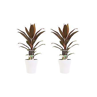 Kordulê ↕ 40 à 40 cm disponible avec jardinière | Cordyline Fruticosa Rumba