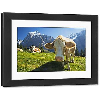 Swiss Cow. Large Framed Photo. A swiss cow peers in towards the camera while more relax across a.