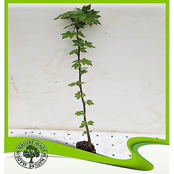 Liquidambar styraciflua (Redgum)-plant