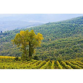 Vino Viña uva Chianti Toscana Italia PosterPrint