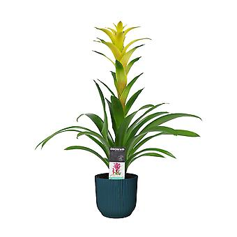Bloem van Botanicly – Guzmania in blauw ELHO plastic pot als set – Hoogte: 60 cm – Guzmania Hilda