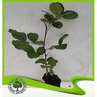 Ceratonia siliqua (Johannesbroodboom)-plant