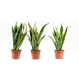 Indoor Plants from Botanicly – 3 × Sansevieria Laurentie – Height: 30 cm
