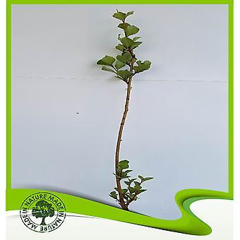 Populus nigra (Schwarze Pappel) - Pflanze