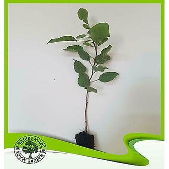 Pistacia vera (pistache boom)-plant