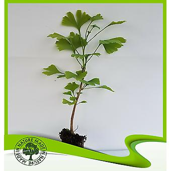 Ginkgo biloba (Ginkgo boom)-plant