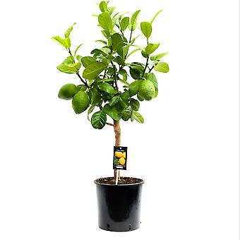 Pianta da frutta da Botanicly – Citrus Bergamot – Altezza: 85 cm