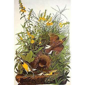Meadow Lark Poster Print by John James Audubon