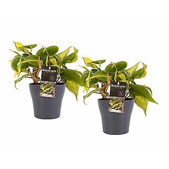 Philodendron Brazil ↕ 15 tot 15 cm verkrijgbaar met bloempot | Philodendron Brazil