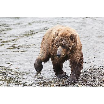 Grizzly bear (Ursus arctos) fishing for sockeye salmon at Brooks Falls in Katmai National Park & Preserve Southwest Alaska Alaska United States of America PosterPrint