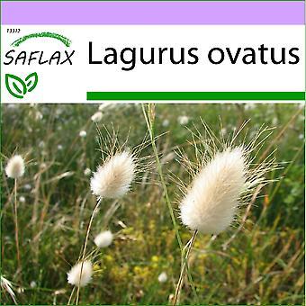 Saflax - 100 semillas - hierba de cola de conejo - Lagure ovale - Coda di lepre - Lágrimas de la Virgen - Hasenschwanz-Gras / Samtgras