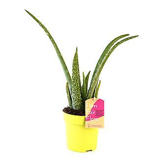 FAIR FLORA® Pianta Interna - Aloe Vera a diverse altezze, opzionalmente con vaso decorativo