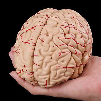 Free Postage Disassembled Anatomical Human Brain Teaching Tool