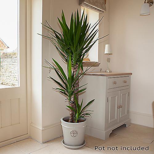 Häufig Yucca elephantipes 3 stem 90/45/20cm in 24cm pot 1.3m tall | Fruugo GD75