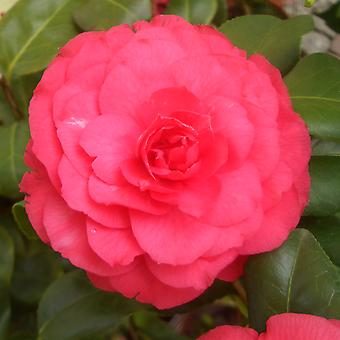 """Camellia """"Abate Bianchi"""" - Camellia japonica - 3-year-old plant"""