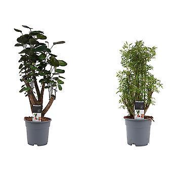 Plantes d'intérieur de Botanicly – 2 × L'Aralie – Hauteur: 55 cm – Polyscias Fabian