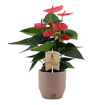 Flor – Flor flamingo em pote de cerâmica taupe como conjunto – Altura: 36 cm