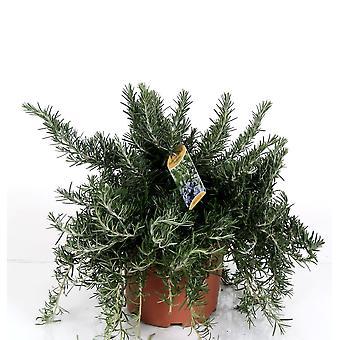 Hierba de Botanicly – Romero – Altura: 40 cm – Rosmarinus Prostrata