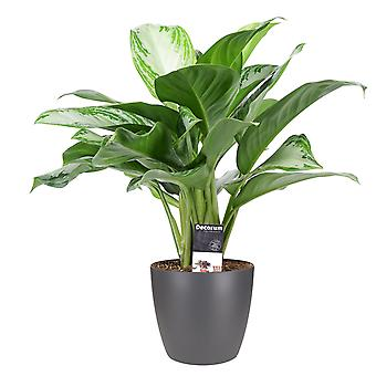 Indoor Plant – Chinese evergreens in anthracite plant pot as a set – Height: 50 cm